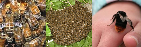 Bees Removal - AMP Pest Control, Norwich, Norfolk  07939964443